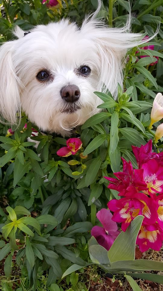 Pin By Susan Prather On Maltease Maltese Dogs Toy Dog Breeds
