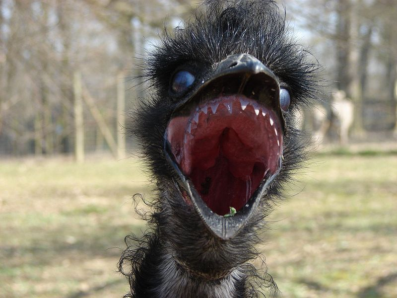 The Emu - just your typical friendly Australian wildlife. - Imgur