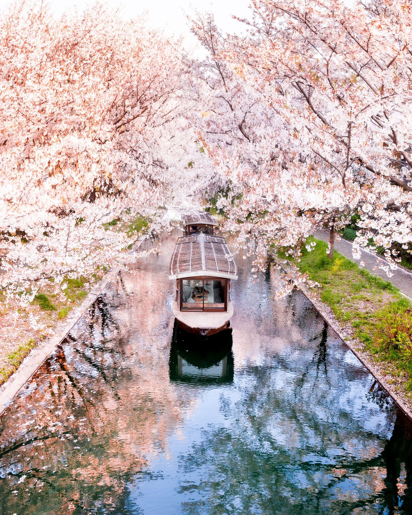Best Sakura Photo In Japan Cherry Blossom In Fushimi Ward In Kyoto Cherry Blossom Japan Photo Spots Cherry Blossom