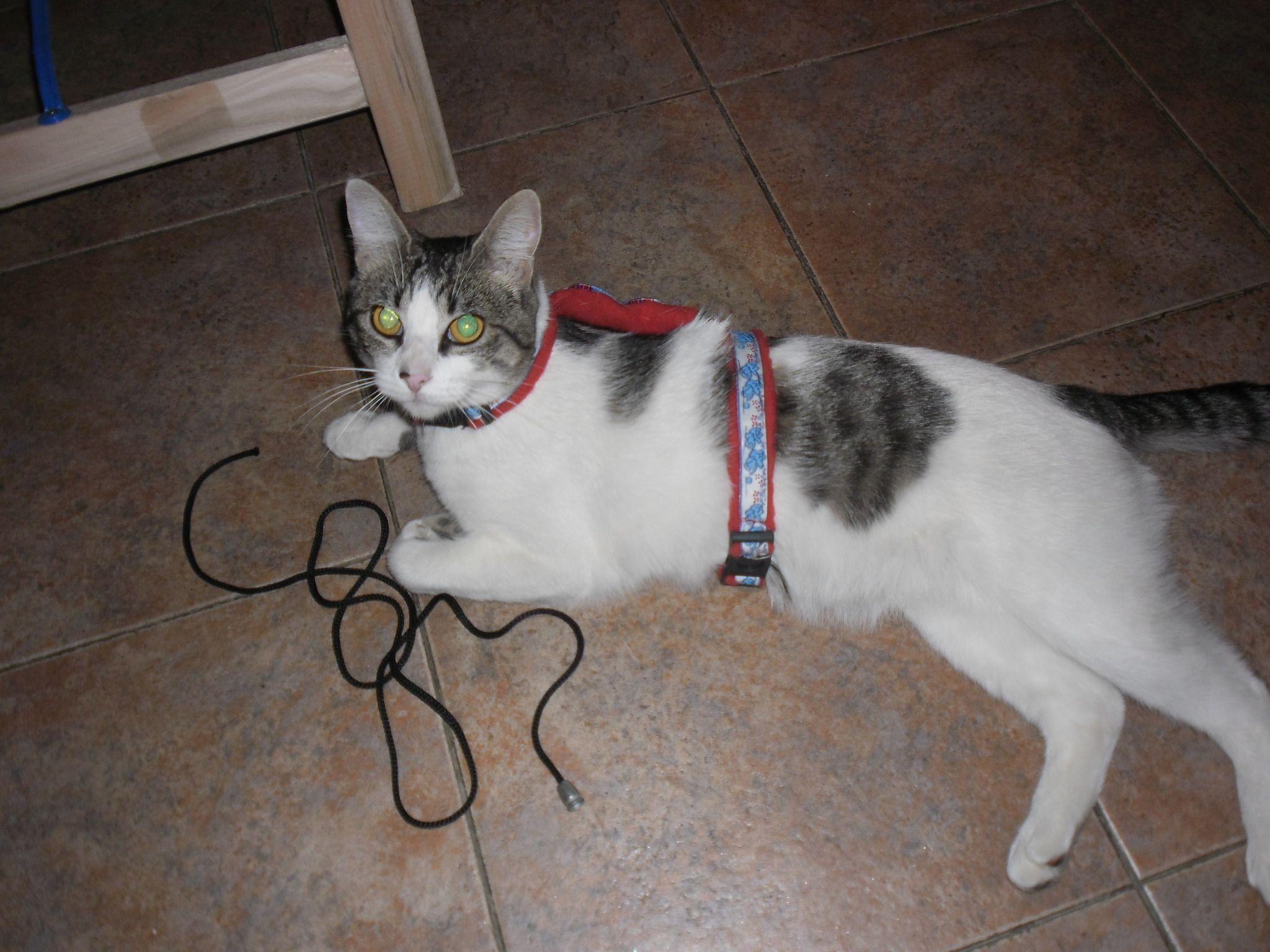 M s de ideas incre bles sobre Arnes para gatos en Pinterest