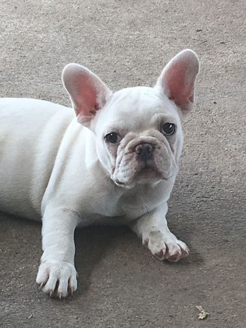 French Bulldog Puppy For Sale In Houston Tx Adn 43306 On