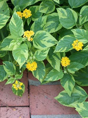 Lantana University Of Florida Institute Of Food And Agricultural Sciences Lantana Yellow Flowering Plants Lantana Plant