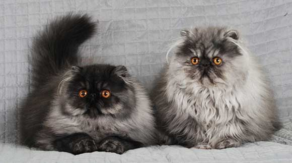 Smoke Persian Cats And Kittens Cats Cute Cats And Kittens