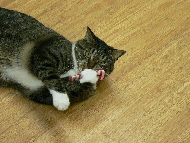#Frankie loves candy canes! #cat #mvhpets