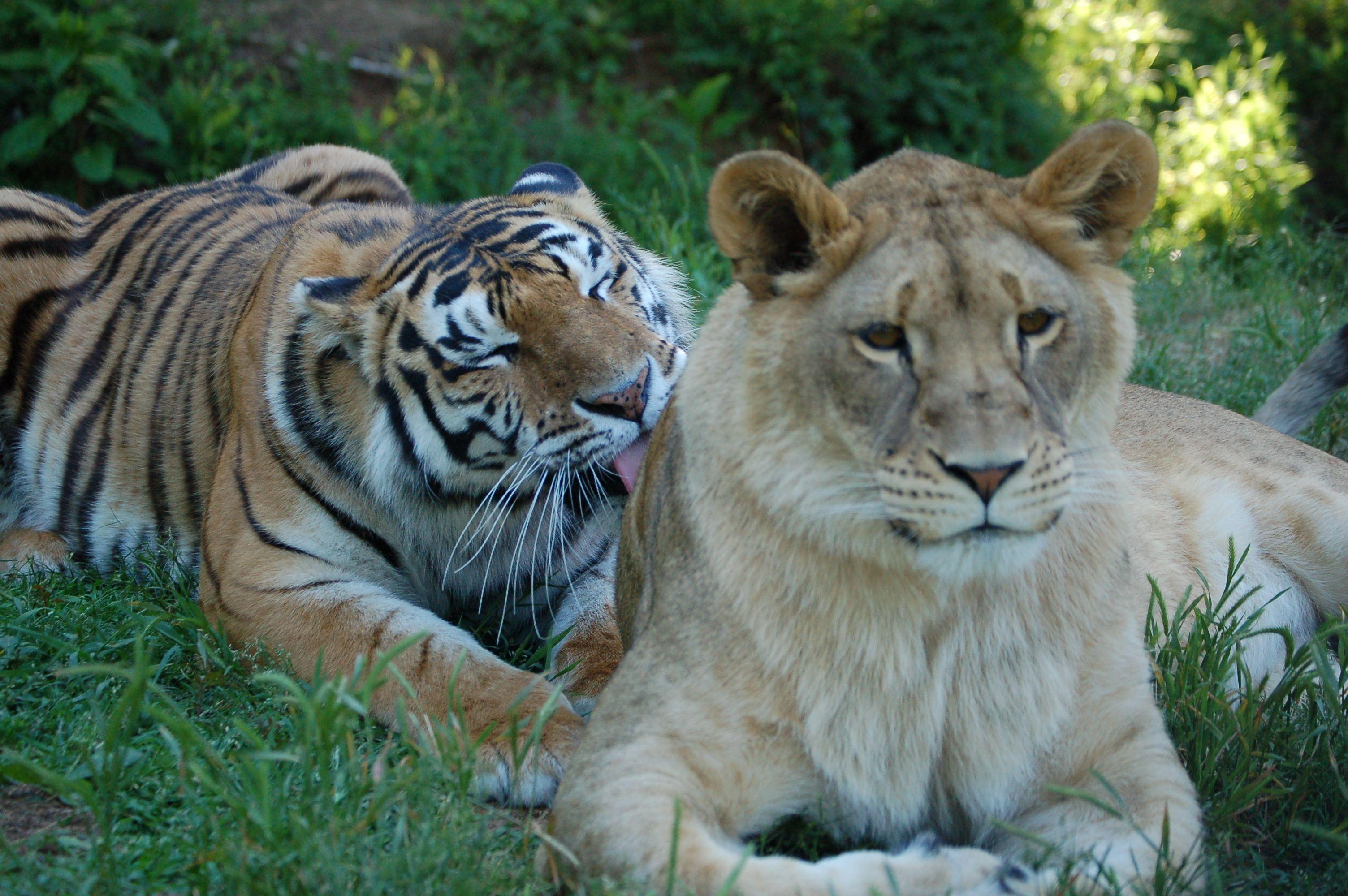 Tiger Lily grooming Liberty