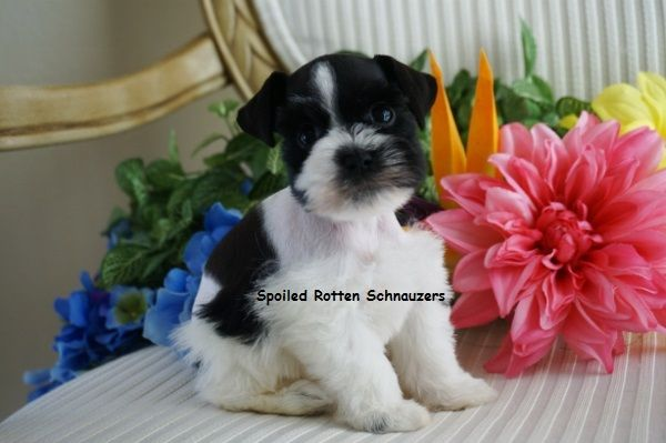 Black & White Parti Schnauzer (also known as a black parti schnauzer)