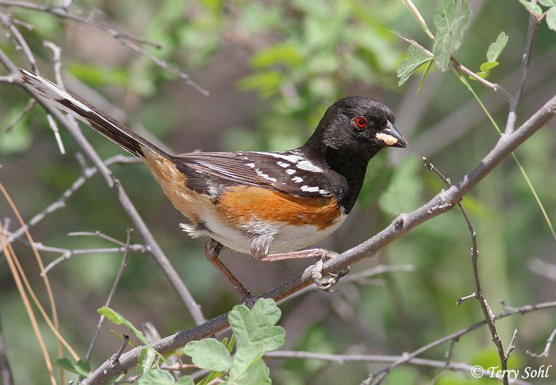 Spotted Towhee | Backyard birds, Birds, Animals