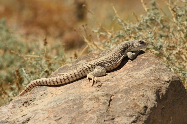 Desert iguana (Dipsosaurus dorsalis). Lives in deserts in southwestern United States and northwestern Mexico. It is a medium-sized lizard, 60 cm long including tail.