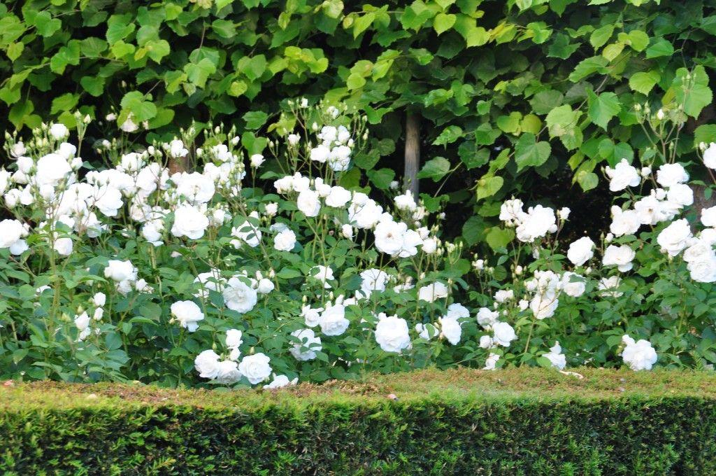 Rosiers Iceberg, en fleurs de mai à octobre | Jardin | Pinterest ...