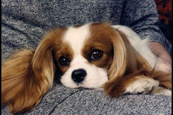 club de race cavalier king charles