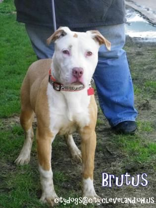 Pin On Dogs Bully Breeds