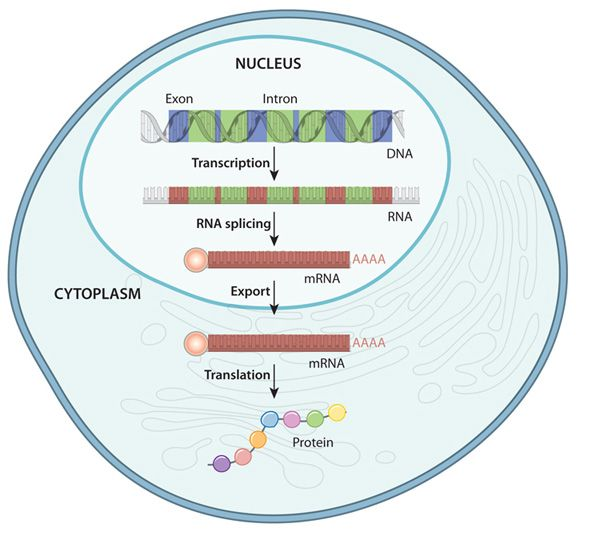 A Schematic Of A Eukaryotic Cell And Its Interior Shows The Transcription Of Dna To Rna And The Translation Gene Expression Learning Science Biology Classroom