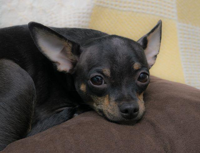 Mr Bubby Deer Head Chihuahua Cute Chihuahua Chihuahua