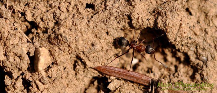 ameisen bek mpfen die 7 besten hausmittel gegen ameisen. Black Bedroom Furniture Sets. Home Design Ideas