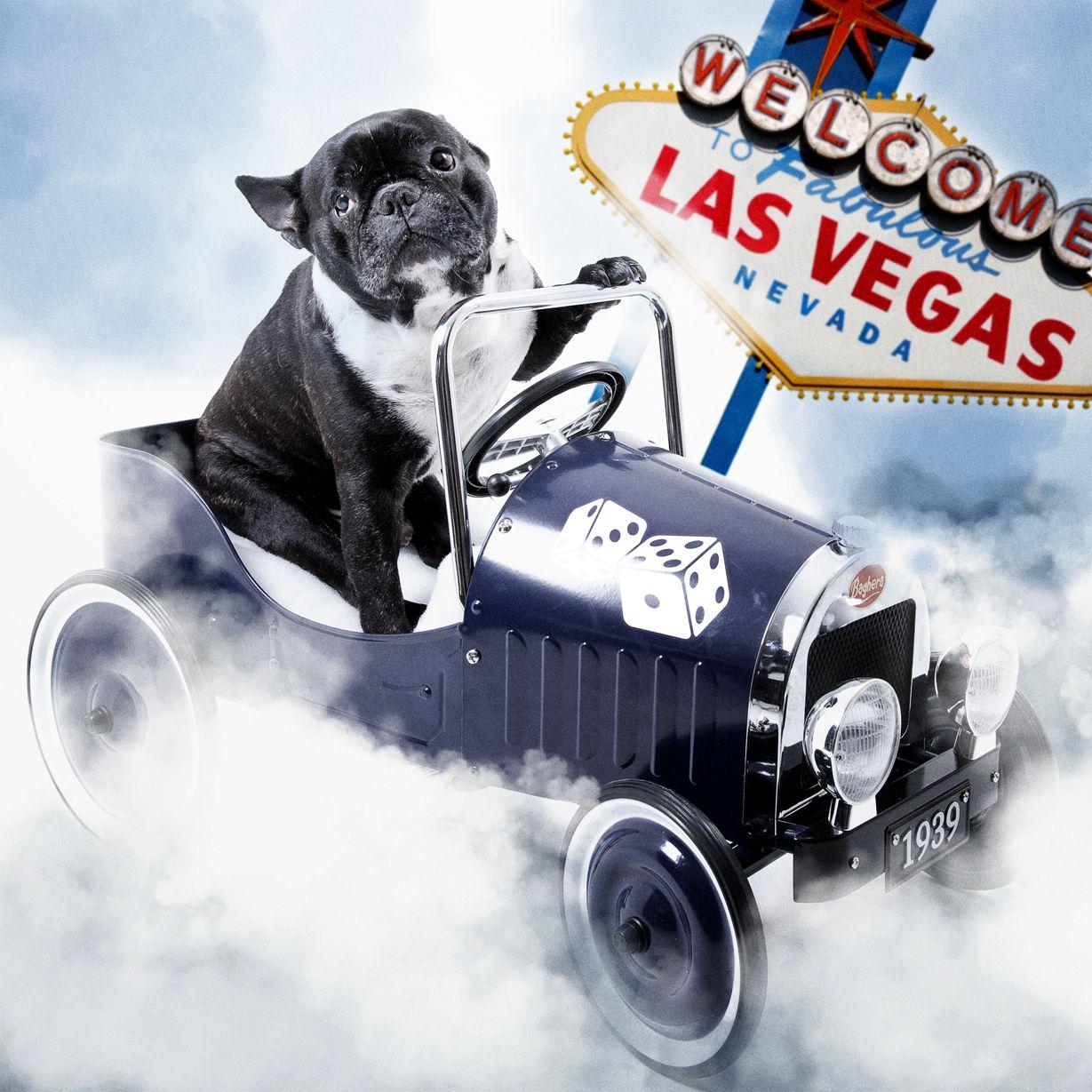French Bulldog Las Vegas French Bulldog Las Vegas Bulldog