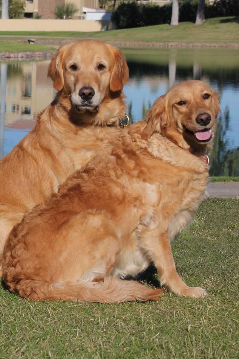 Golden Retriever Dog For Adoption In Glendale Az Adn 749264 On Golden Retriever Rescue Dogs Golden Retriever Dogs