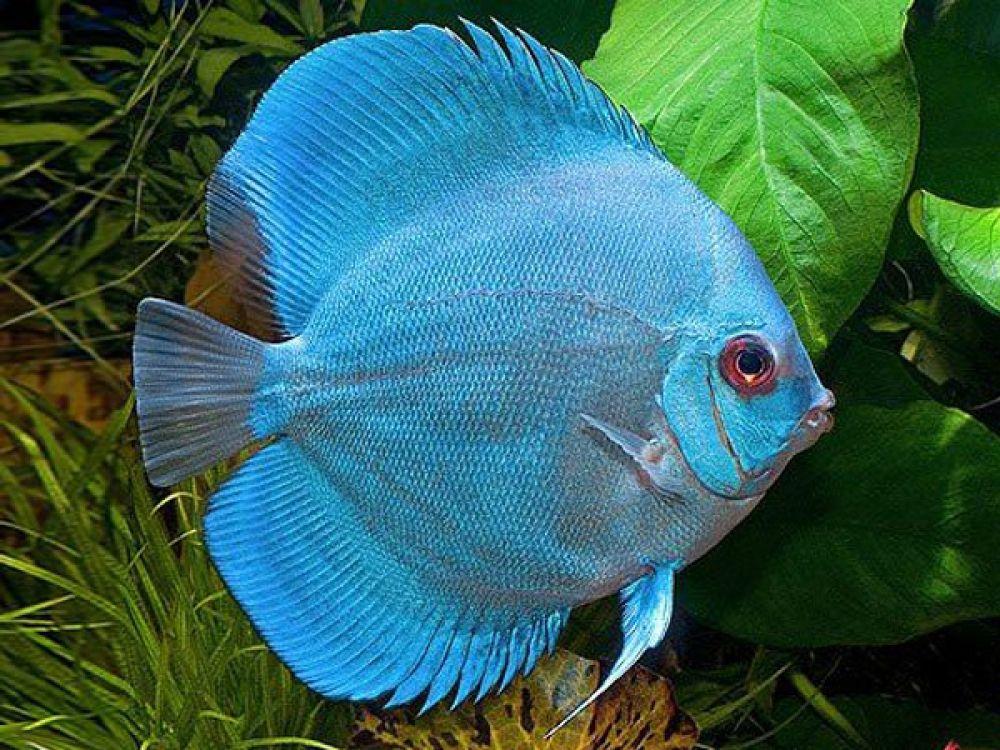 Blue diamond discus discus fish aquarium fish discus