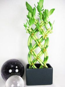 Live 8 Braided Style Lucky Bamboo Plant Arrangement With Dark