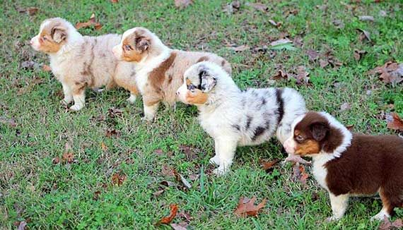 Australian Shepherd Colors And Markings Australian Shepherd