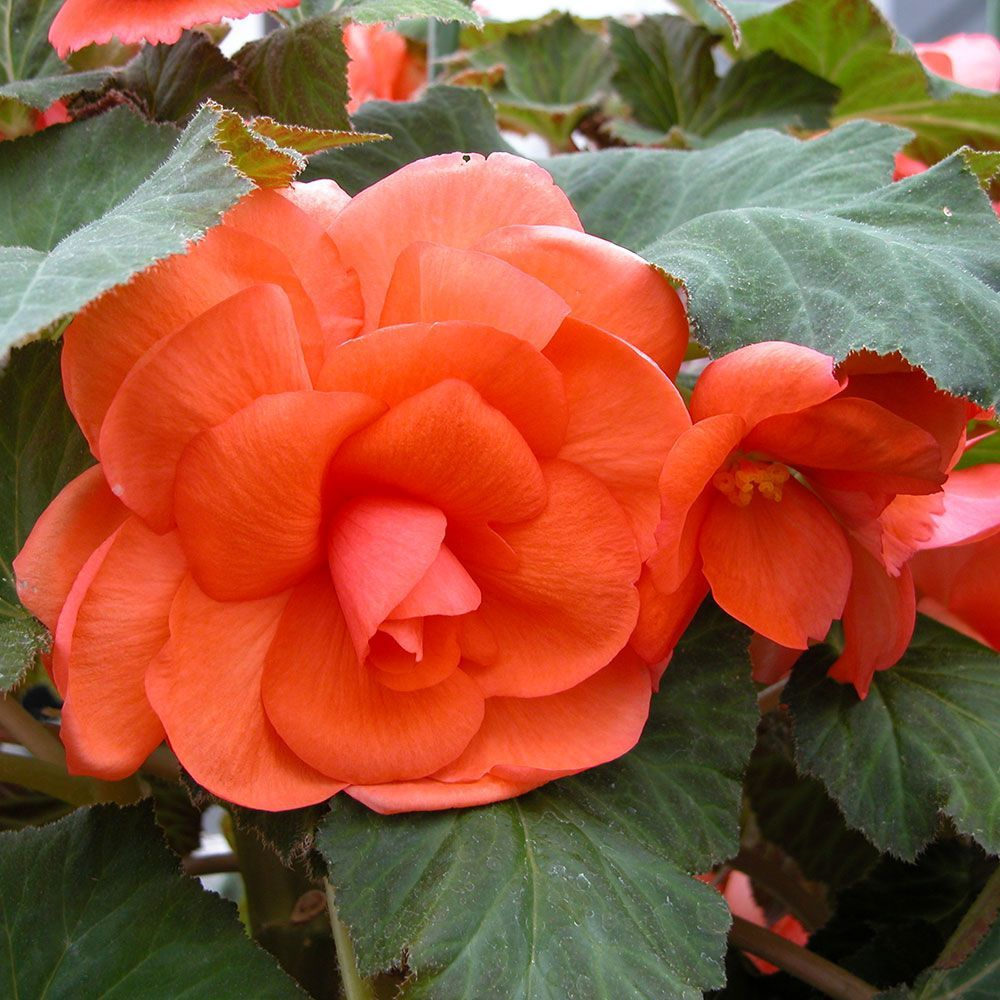 Begonia Jessica Blackmore Langdon With Images White Flower