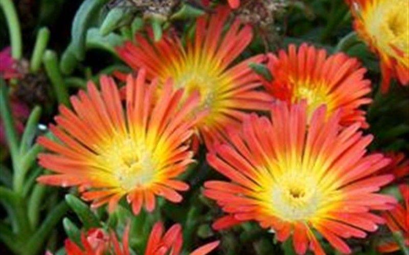 Fire Wonder Ice Plant Delosperma Succulant Plant Flower Groundcover Gardenerdirect Gardening With Images Plants