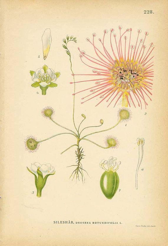 Common Sundew Antique 1905 Botanical Book By Wordsandmelodies Botanical Illustration Botanical Art Botanical Prints