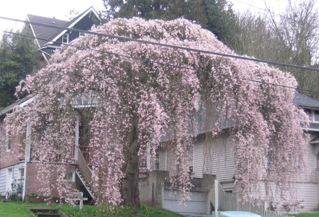 Huge Weeping Cherry Tree Weeping Cherry Tree Curb Appeal Garden Beautiful Tree