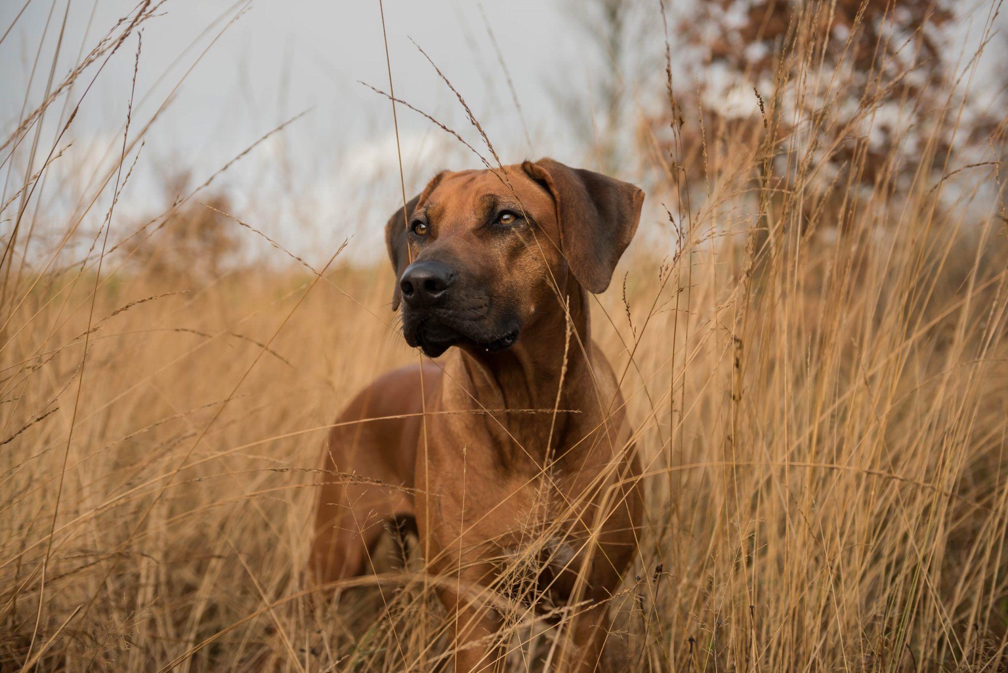 Dkch Shangalia Avani Kamili Rhodesian Ridgeback Dogs Kennel
