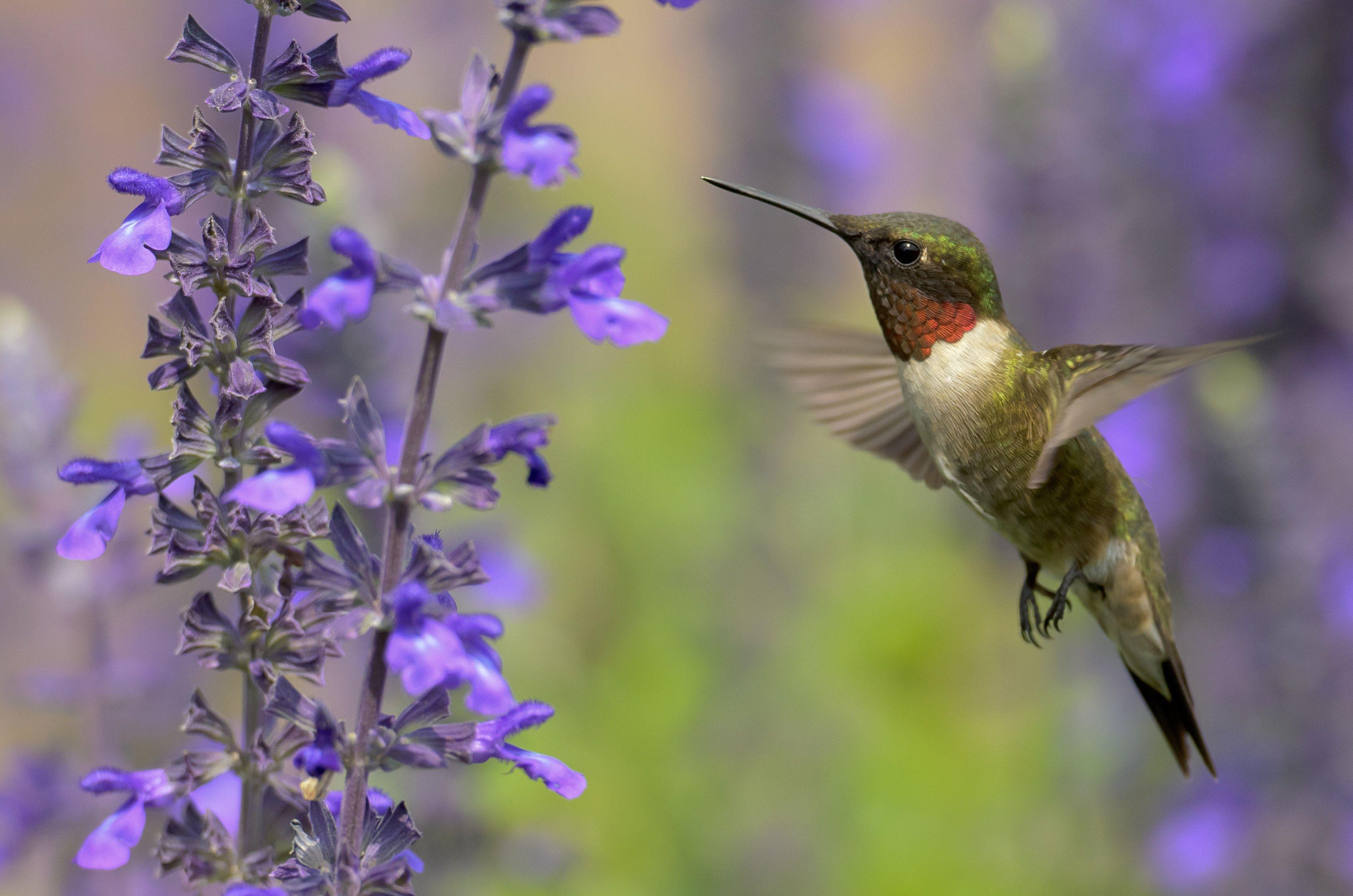 Which Flowers Do Hummingbirds Like Best Longfield Gardens How To Attract Hummingbirds Hummingbird Plants Longfield Gardens