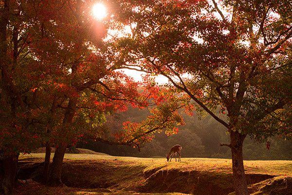 1023-1532 ナンキンハゼ 紅葉 奈良公園 鹿