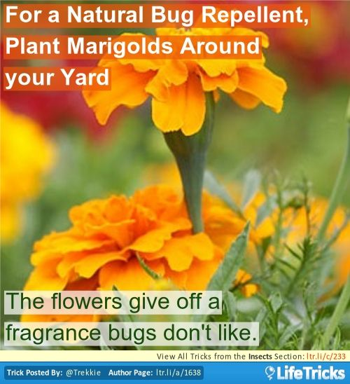 For A Natural Bug Repellent Plant Marigolds Around Your Yard