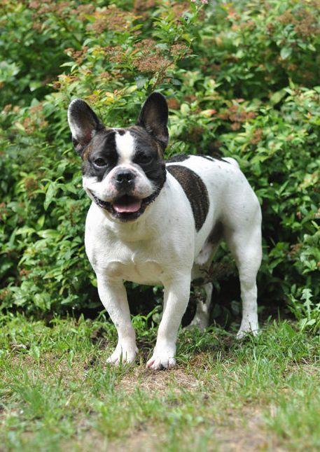 Happy French Bulldog Warsaw Poland Cute Animals French