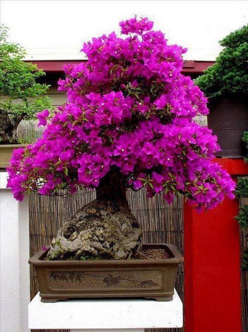 Bougainvillea Bonsai-Tree-03.jpg   The Beautiful Art Of Bonsai ...