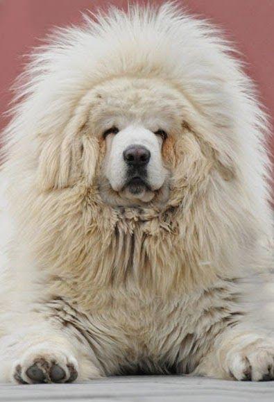 Simple Tibetan Mastiff Chubby Adorable Dog - 50d47f7f30c499249b596095555f3430  Pictures_93934  .jpg