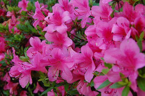 Azalea Take Care Of Yourself Azalea Flower Flowers Azaleas