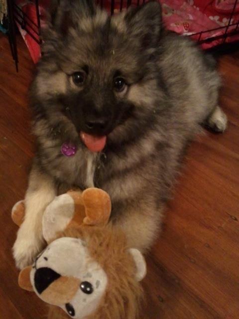 My Beautiful Little Puppy Miss Mia Mango Keeshond X Japanese
