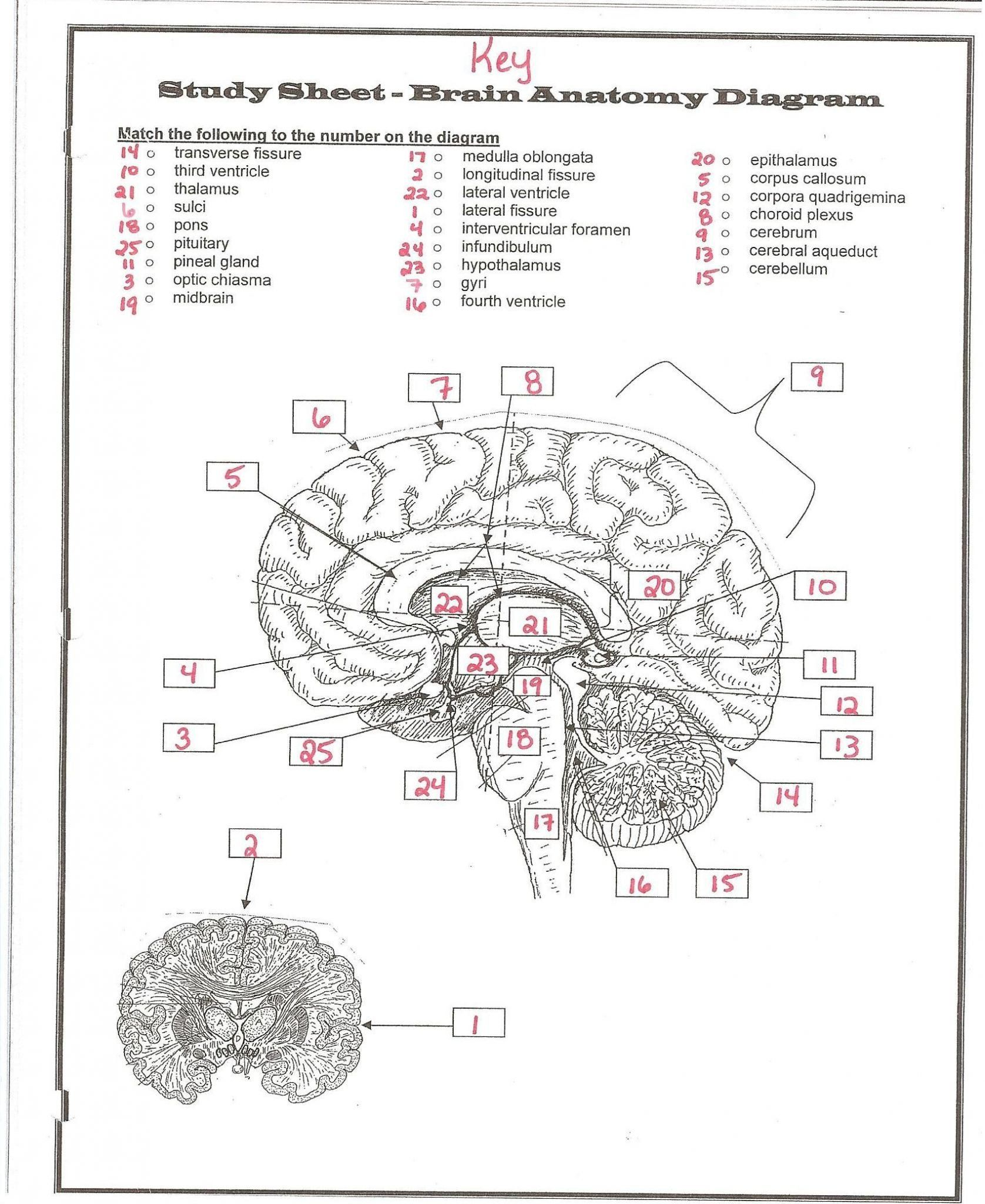 The Nervous System Worksheet Answers