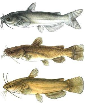 Google Images Catfish Google Search Catfish Fish Fish Pet
