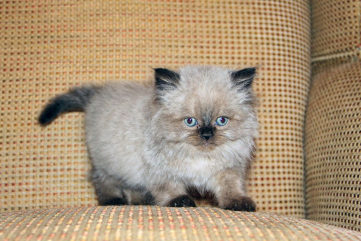 Image result for Chocolate Point Himalayan Kittens Cat