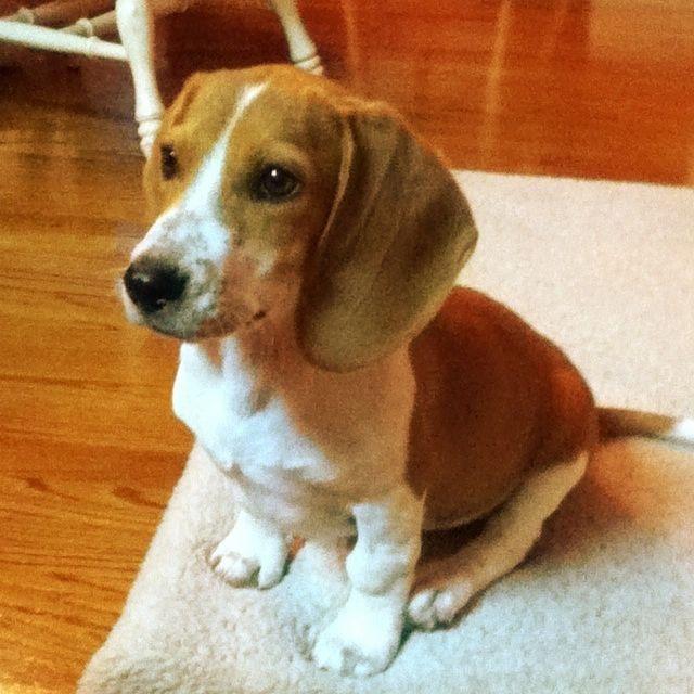 My Bagel Hound Pup Jessie Girl Cute Puppies Pup Hound