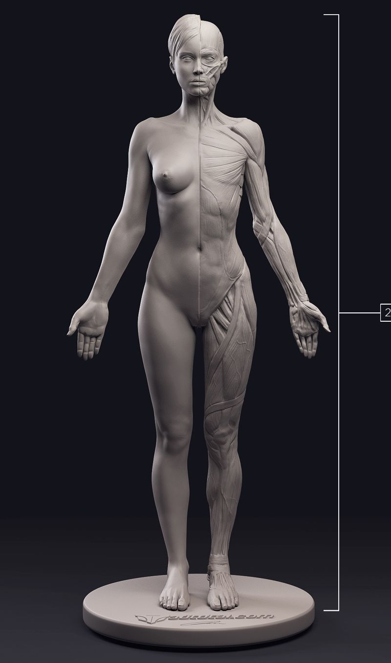 http://www.3dtotal.com/anatomy-figure/female/ | Female Anatomy ...