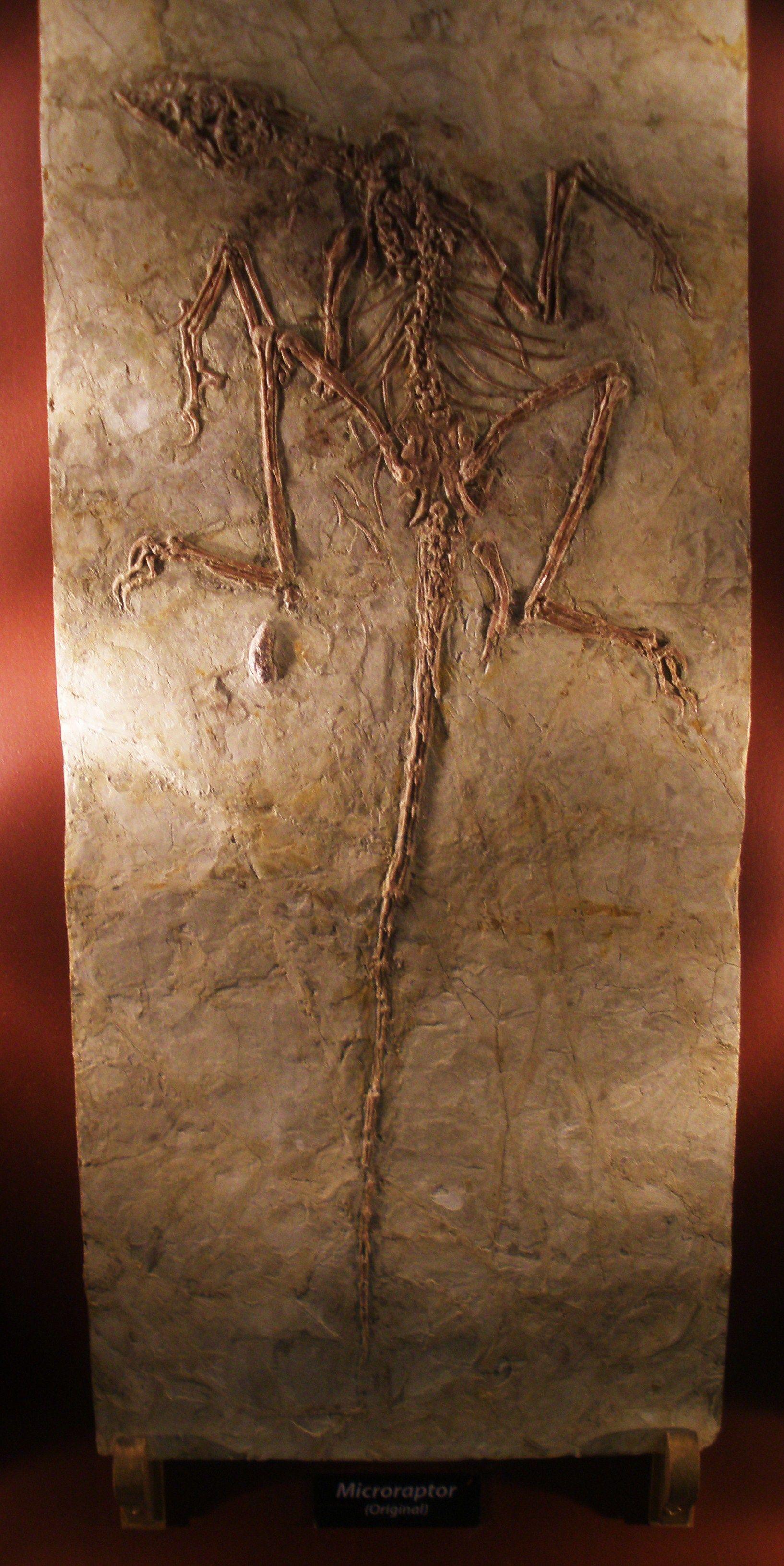 Fossile de Microraptor.
