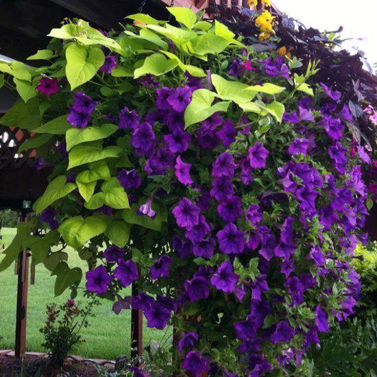 Purple Petunias Sweet Potato Vine Container Flowers Climbing Flowers Flower Planters