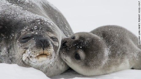 The U.S. Geological Survey released a photo of a Weddell seal pup kissing its mom in Erebus Bay, Antarctica. Read more.