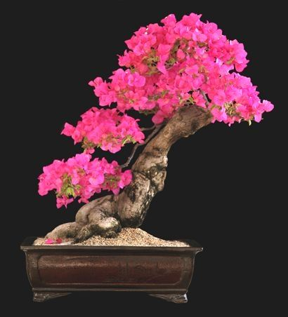 Don T You Simply Love This Pretty Bonsai Tree Bonsaiinspiration Bonsai Art Bonsai Tree Bougainvillea Bonsai