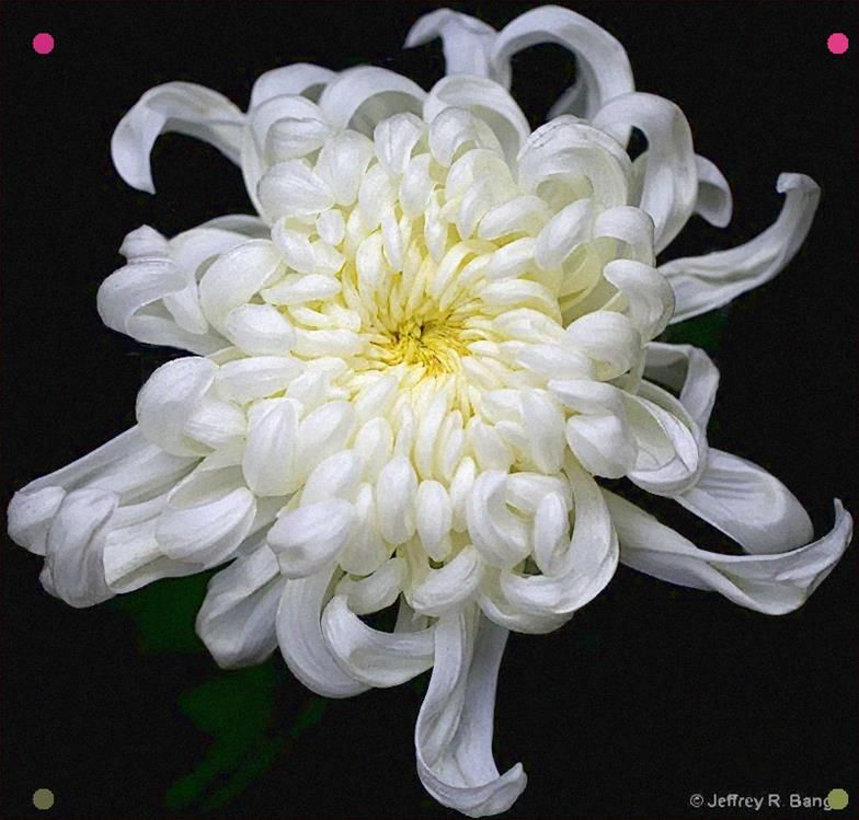 Pin By Loren Petty On Drawing Inspiration In 2020 White Chrysanthemum Chrysanthemum Flower Chrysanthemum