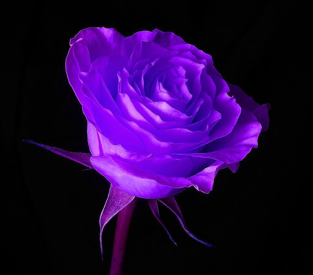 Purple Rose Color Meanings Purple Roses Wallpaper Purple Roses