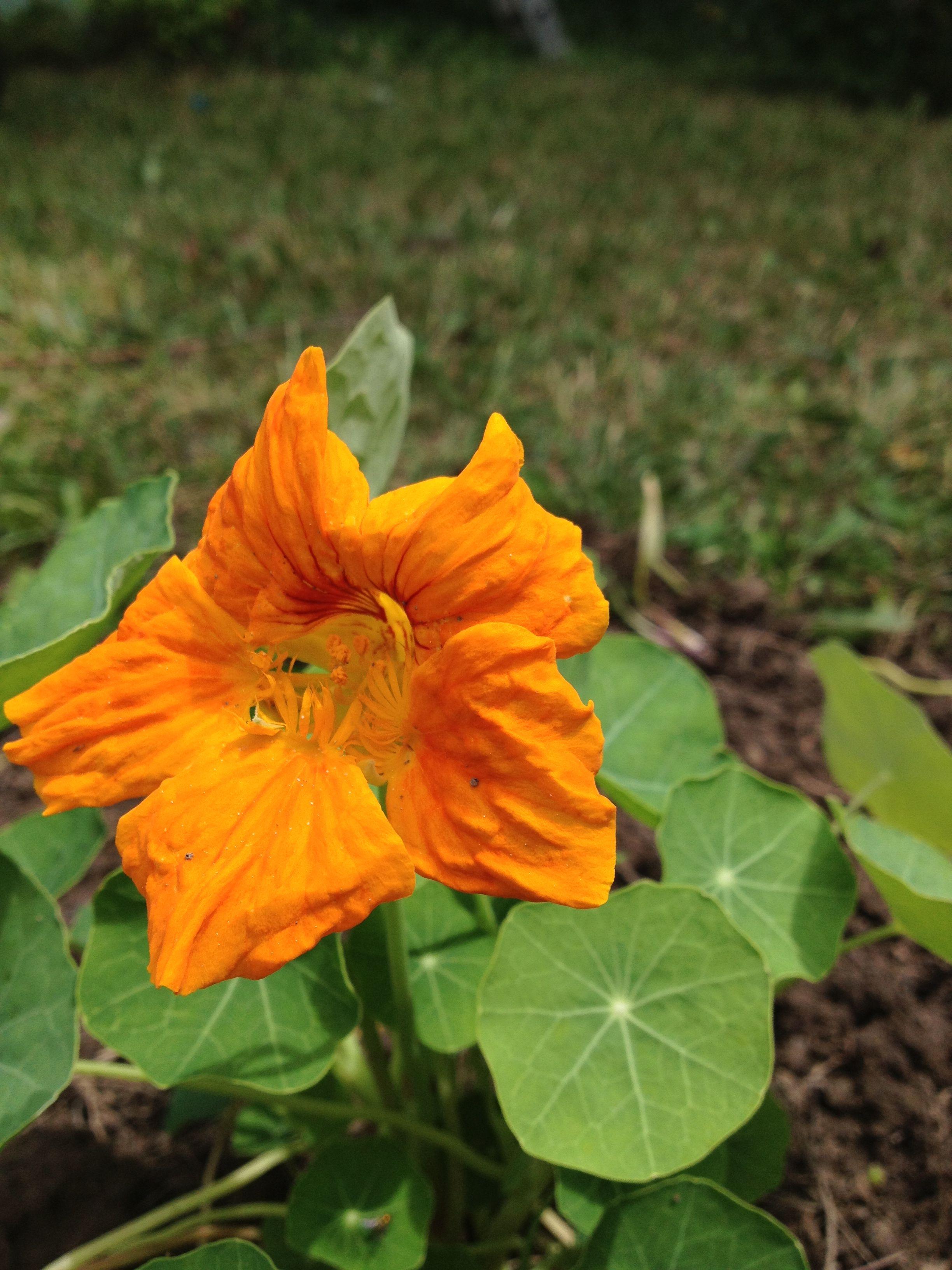Nasturtium flower Flowers