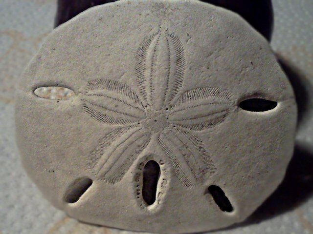 The Legend Of The Sand Dollar And Its Holy Meaning This That