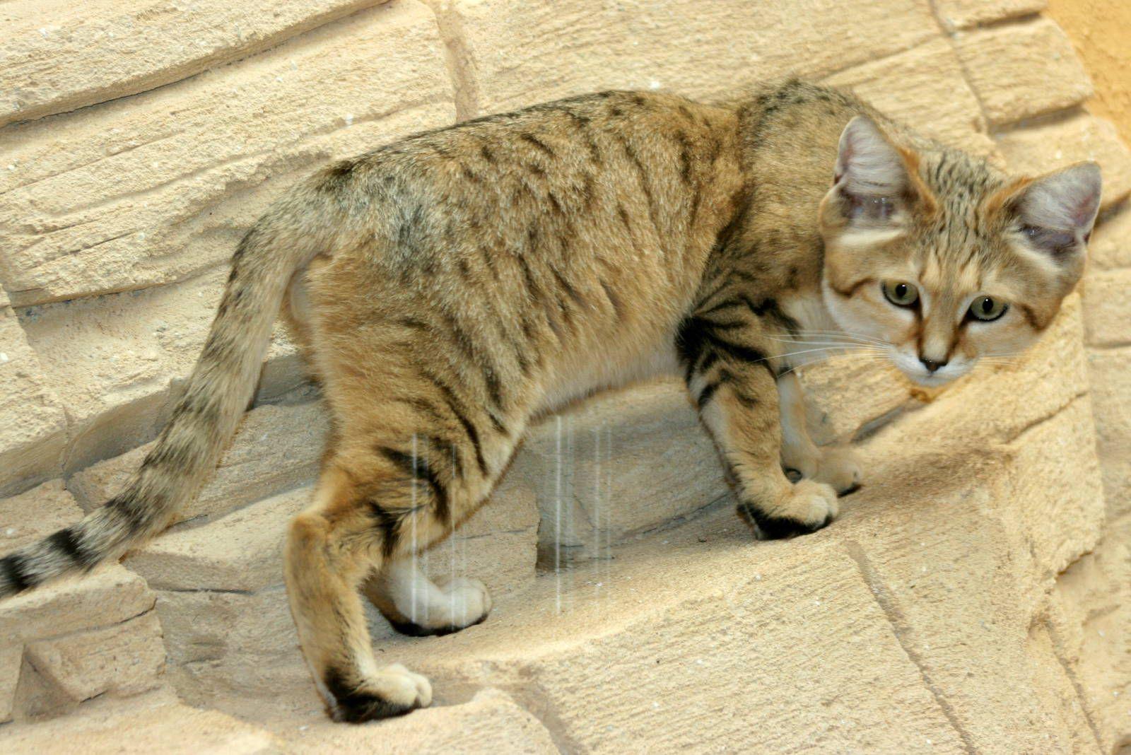 Sand Cat Rare Species Sand cat, Cats, Rare species